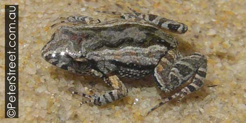 Common Easter Froglet, Crinia signifera