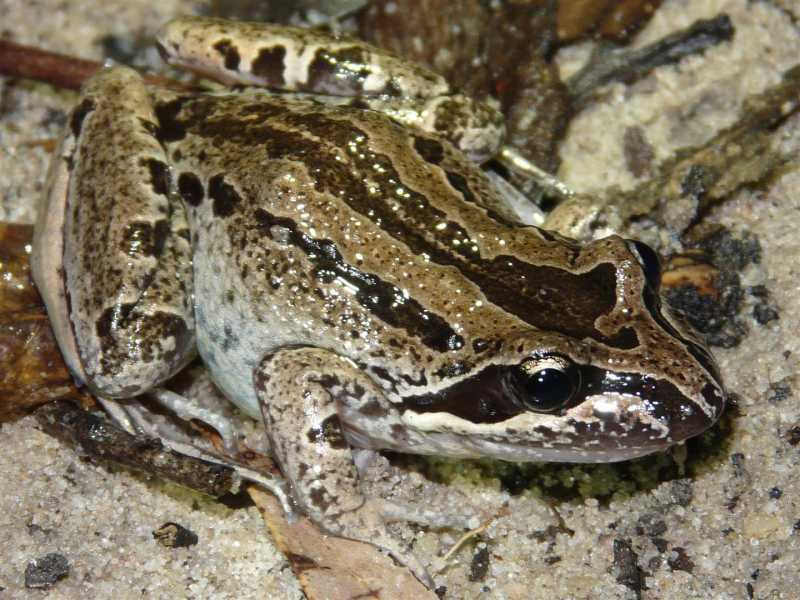 Adult Striped Marsh Frog