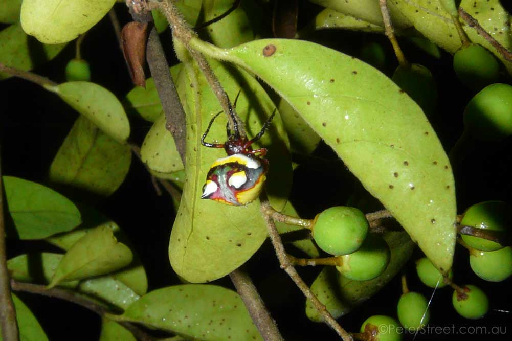 Two-spined Spider, Poecilopachys australasiae