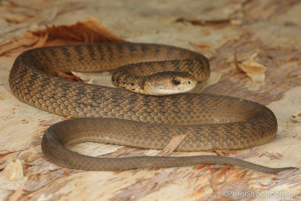 PETE9632_Rough-Scaled-Snake